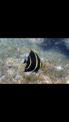 Grey angelfish juvenile Angelfish, Under The Sea, Caribbean, Grey, Ash, Gray, Repose Gray