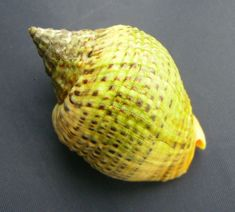Cominella adspersa, common name the speckled whelk or kawari in Maori, found in…