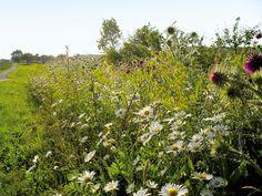 bloemenmengsel-zaad .... speciaal voor bijen en vlinders...