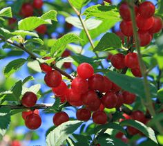 Nanking Cherry. A bush cherry that is easier to grow than a regular cherry tree. Produces in almost any growing condition, is very resistant to diseases, tolerates drought...
