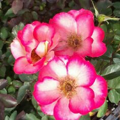 Betty Boop #roses are still blooming! So cute, this hardy rose is an easy to grow variety #gardenchat #plantchat