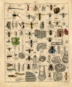 £7.95 GBP - A3 Vintage Poster  Insects (Picture Bugs Beetles Grasshoppers Flies Ants Moths) #ebay #Home & Garden