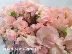 Картинки по запросу Pink Peach Hyacinth
