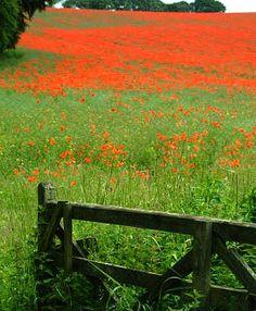 Poppy Field - Yorkshire