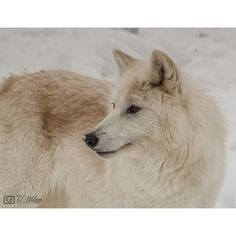 AMAZING people and animals at Triple D! Have a wonderful day! Please share. Message me for prints.  http://smu.gs/1KOlW4V #tripledgamefarm  #arcticwolf  # wolf #arcticanimals #wildlife #tlwilsonphoto