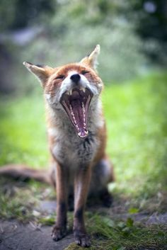Red Fox by Francis C. - National Geographic Your Shot