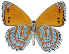 """Framed Harlequin Butterfly ( Riker Mount (4"""" x 3"""") Butterfly Utopia http://www.amazon.com/dp/B0093NZZK0/ref=cm_sw_r_pi_dp_yi-lub1J8WMMV"""