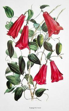 Image result for chilean bellflower illustration