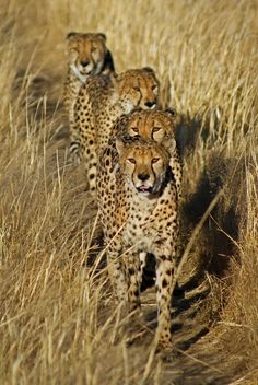 Cheetahs    photo by Dave Irving