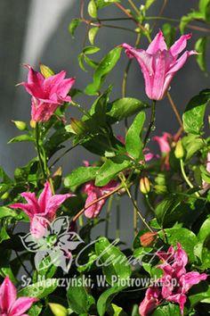 клематис 'Princess Diana' (Принцесса Диана) Clematis Princess Diana, Small Trees, Trees And Shrubs, Trellis, Bright Pink, Perennials, Tulips, Pergola, Seeds