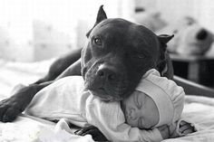 Uplifting So You Want A American Pit Bull Terrier Ideas. Fabulous So You Want A American Pit Bull Terrier Ideas. Pit Bull Terrier, Amstaff Terrier, Terrier Dogs, Cute Puppies, Cute Dogs, Dogs And Puppies, Doggies, Baby Dogs, Awesome Dogs