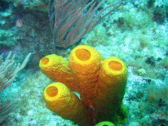 Halichondria okadai, esponja do mar onde foi identificado o medicamento eribulina, usado no tratamento do câncer de mama.