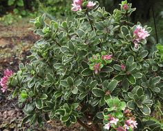 Arrowhead Alpines Blog: The three rules to growing daphnes
