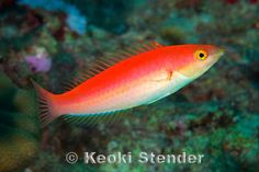Wrasses are beautiful fish which seem to be quickly forgotten when stocking a saltwater aquarium. Here are outstanding photos of different Wrasses. Saltwater Aquarium Fish, Saltwater Tank, Marine Fish, Aqua Marine, Turning Stone, Beautiful Fish, Hawaiian Islands, Ocean Life, Underwater