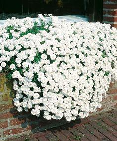 ´Iberka - štěničník´. Trvalka, která na zahradě vydrží roky bez zvláštní péče. Ozdobí skalky, okraje záhonů, bohatě pokryje zídky ve svahu. I v zimě zůstává zelená. http://eshop.starkl.com/iberka-stenicnik-050330/