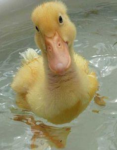 so cute fuzzy duck! Beautiful Birds, Animals Beautiful, Animals And Pets, Funny Animals, Cute Ducklings, Baby Ducks, Tier Fotos, Cute Little Animals, Cute Animal Pictures