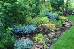 Spruce 'Dwarf Blue Globe' — at Rock Landscape & Gardens, Inc. http://www.pinterest.com/rocklandscape/