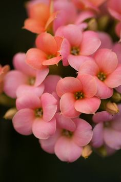 Little pink kalanchoe flowers - by Raspberrytart [Flickr]
