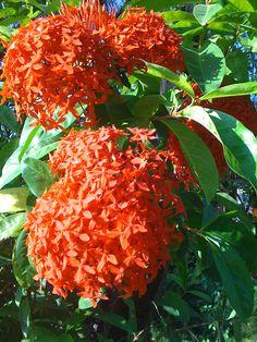 the flora of costa rica - Google Search