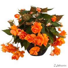 AmeriHybrid® Orange Hanging Basket Begonias | CalBegonias.com