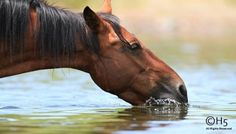 Wild Mustang Quenching His Thirst....