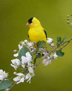 The bright and beautiful American goldfinch is a new visitor to Dogwood Ridge.  We've spotted them sharing the feeders with our cardinals, snacking on their favorite black sunflower seeds.