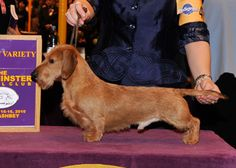 The Westminster Kennel Club | 2010 BOB Ch Gleneagle's Who's Famous Now