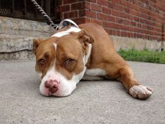 Brooklyn Center **NEW PHOTO**  My name is PASSION. My Animal ID # is A1010371. I am a female brown and white pit bull mix. The shelter thinks I am about 4 YEARS old.  I came in the shelter as a OWNER SUR on 08/13/2014 from NY 11416, owner surrender reason stated was TOO HYPER.   KILLED.