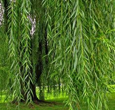 Weeping Willow Photography | The Tree Of Enchantment Weeping Willow Fine Art Photography