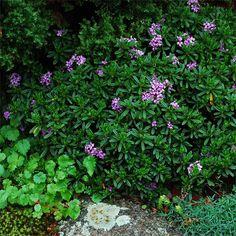 Daphne x 'Lawrence Crocker'   Garden Foreplay