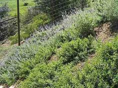 plants For erosion control | ... plants, in a mixed planting. Erosion gradually decreased on the slope