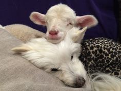 Lamb Who Almost Didn't Make It Loves Cuddling With His Dogs And Cats