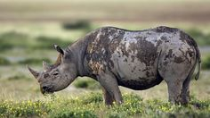 Endangered: The black rhinoceros (Diceros bicornis), Etosha National Park, Namibia. Photo