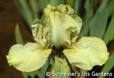 Limesicle | Yellow Iris
