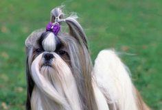 xuanxuan: Dog Grooming Tips Shih