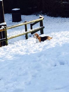 Beagle in the snow