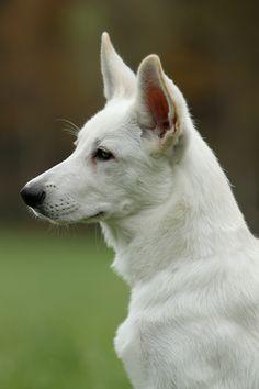 White Shepherd - looks just like my dog :)