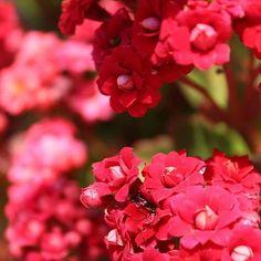 🌺🐞 #dailypost #photography #instadaily #instanature #nature #flowers #redflower #photooftheday #wednesday