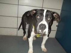 **Fort Worth, TX**CURRENT STATUS: Must be tagged for adoption or rescue by 9am on 2/22/14**  Reason for URGENT: Upper Respiratory Infection   Animal ID: 22007468 Name: Tyson  Breed: Pit Bull Mix  Sex: Male - Neutered  Age: 2.5 years  Weight: 53 pounds https://www.facebook.com/fwaccurgents/photos/a.619426444796120.1073742239.137921312946638/619448308127267/?type=3&theater