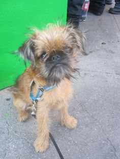 Brussels Griffon. I'm pretty sure I would LOVE to have this breed of dog.