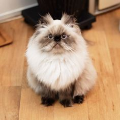 Cute Cats And Kittens, I Love Cats, Kittens Cutest, Cute Funny Animals, Funny Animal Pictures, Cats With Big Eyes, Persian Cats, Here Kitty Kitty, Cat Gif