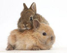 cute bunnies   WP39743 Cute baby Netherland Dwarf rabbits.