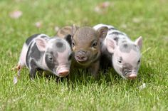 The three piglets