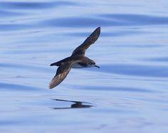 shearwater - Manx shearwater - Wikipedia, the free encyclopedia Algarve, British Wildlife, Summer Sky, Manx, Sea Birds, Rafting, Britain, Woodland, Nature