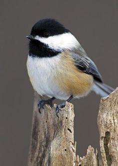 Black-capped chickadee.  Mésange à tète noire.  (Poecile atricapilla).