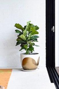 Pot Fiddle Fig, Inside Plants, Planter Pots, Ideas, Indoor Plants, Thoughts, Home Plants