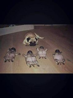 Funny Dogs but only Pug Videos - Pugs are Awesome Cute Funny Animals, Cute Baby Animals, Funny Dogs, Cute Dogs, It's Funny, Hilarious, Dog Pictures, Animal Pictures, Pugs And Kisses