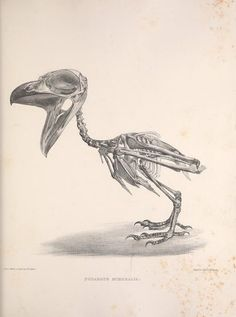v. 2 - Osteologia avium, or, A sketch of the osteology of birds / - Biodiversity Heritage Library