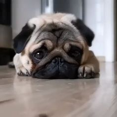 Pug Puppy-so cute-cute dog videos - Chiot carlin super mignon. Tiny Puppies, Cute Dogs And Puppies, Pet Dogs, Pets, Cute Funny Animals, Cute Baby Animals, Baby Pugs, Silly Dogs, Funny Dogs