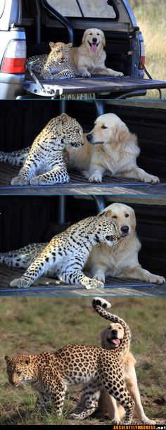 Leopards are crazy! How did it not eat that dog?!